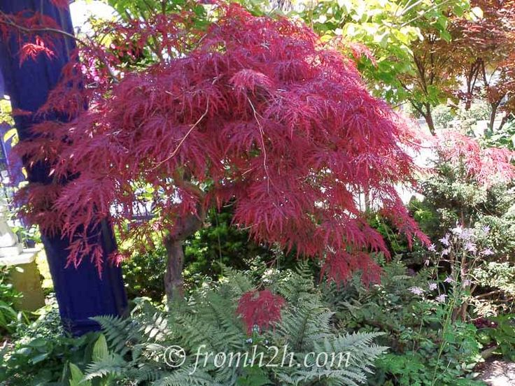 japanese maple crimson queen 10 bushes to plant under trees