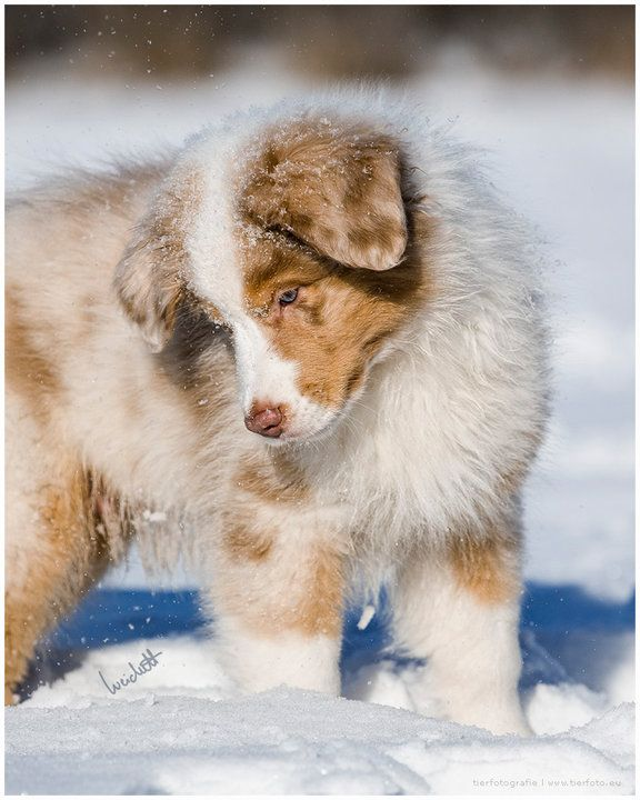 Baby Australian Shepherd playing in the snow, Germ…