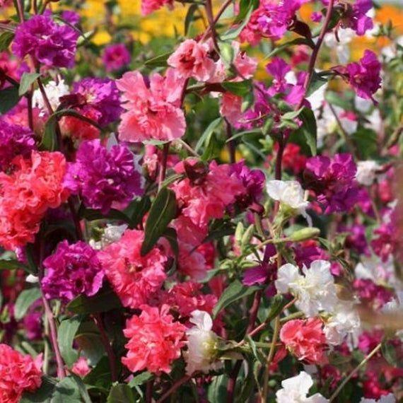 Mountain Garland Clarkia Mix Flower Seeds Annual 50 Etsy In 2020 Flower Seeds Flowers Stock Flower