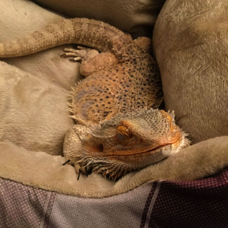 My Bearded Dragon When She Got Her First Dog Bed Bearded