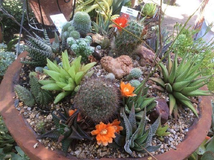 87 best images about cactus y suculentas on pinterest - Composiciones de cactus ...