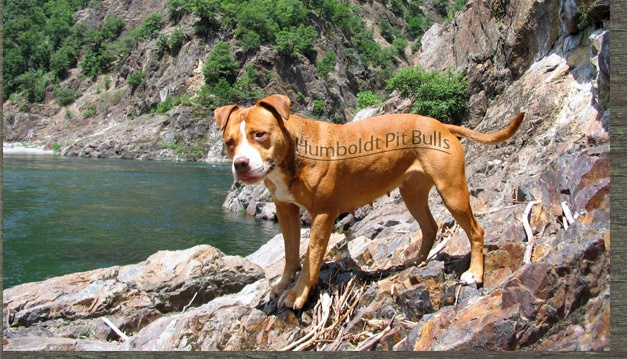 Old+Family+Red+Nose+History | Red Nose Pitbull,American Pitbull, Red Nose Pitbull Kennels