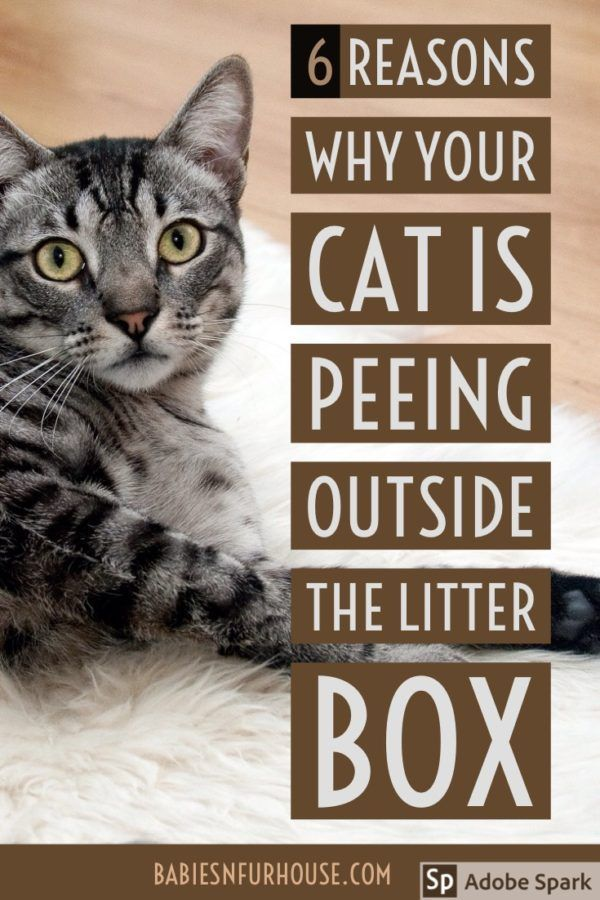 Cat Urinating Outside The Litter Box 6 Reasons Why Cat Pee Smell Cat Peeing In House Litter Training Kittens