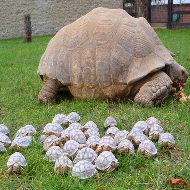 Bebek Kaplumbağalar.. Bir Ordu anne ardından gidiyor ♥♥♥  An Army of Baby Tortoises Following Mommy.