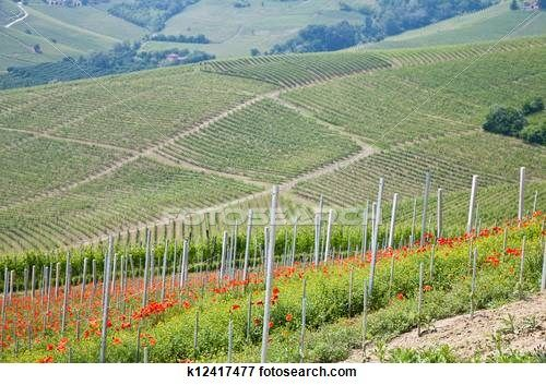 Tuscany. Vineyard in the middle of the most famous wine region of Italy