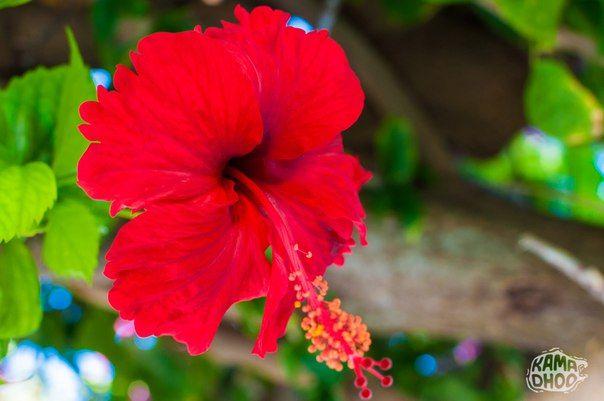 Hibiscus flower at Kamadhoo local island, Maldives #hibiscus #nature #flower…