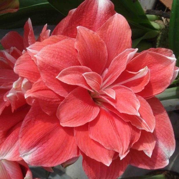 Les 436 meilleures images du tableau amaryllis sur for Amaryllis exterieur