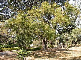 La planta de neem es una hierba con múltiples propiedades medicinales y beneficios para la salud que son conocidos desde la antigüedad por la medicina tradicional africana y asiática. Una de estas propiedades es la de ayuda a controlar el colesterol.Estos beneficios se pueden conseguir a través de su infusión o té. Si quieres conocer […]