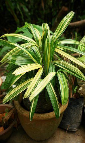 Rhapis excelsa 'Variegata' - Variegated Bamboo Palm
