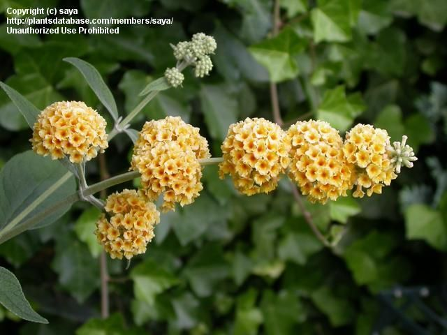 Full Size Picture Of Butterfly Bush Honeycomb Buddleja X Weyeriana This Is My Favorite And Only Buddleja In My Garden B Butterfly Bush Honeycomb Pictures
