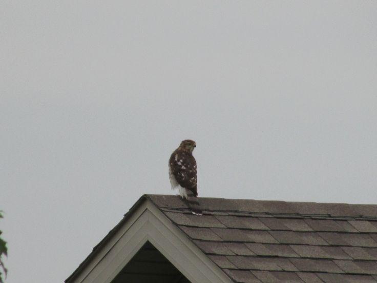 Hawk atop neighbor's roof