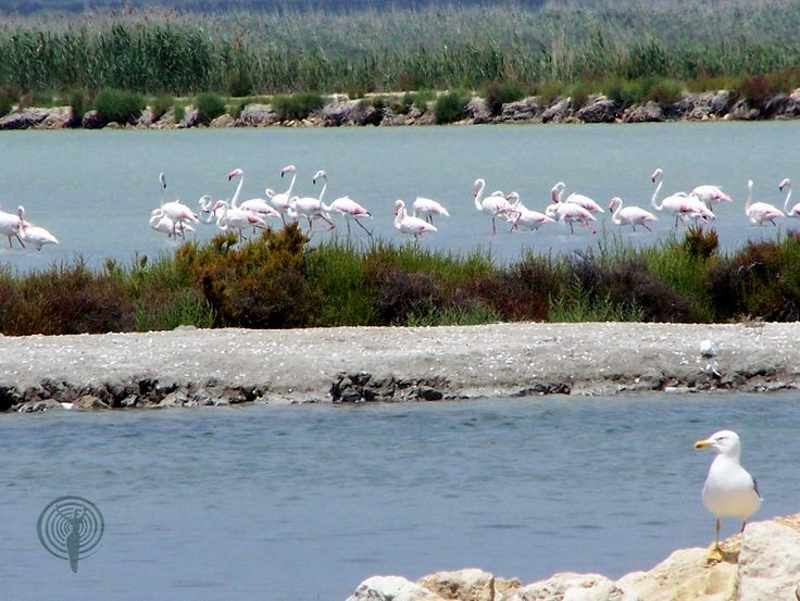 Nearby, on the coast of #Guardamar and #SantaPola you can find large salt lakes full of #bird life including flamingos ...