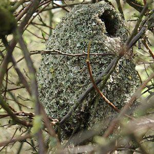 Nid de la Mésange à longue queue (Aegithalos caudatus)