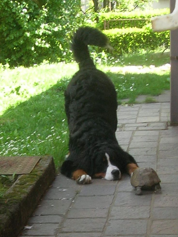 Ahhh Look Bernese Mountain Dog Inviting Turtle To Play Via
