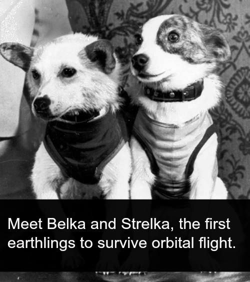 Meet Belka and Strelka: The Frist Earthlings to Survive Orbital Flight  Not all scientific achievements were made by men. In fact, some of the greatest accomplishments were made by dogs. Meet Belka and Strelka, the first earthlings to survive orbital flight.   On August 19, 1960 the USSR launched Korabl-Sputnik 2, which was known as Sputnik 5 in the West. On board were two mix-breed strays that were found wandering the streets of Russia. The tiny canines each weighed abou