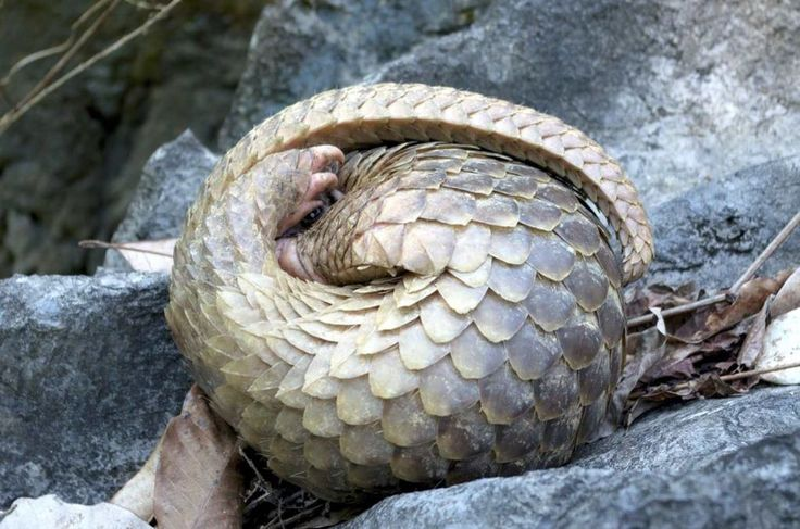 "THE CRITICALLY ENDANGERED PANGOLIN.      (Image: ""ALOR SETAR: A strong smell coming from a double-storey house in Taman Desa Seraya led to the rescue of 141 live Pangolins."")"