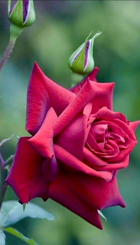 Hybrid Tea Roses Description Hybridtearoses Cicek Bahcesi Guller Guzel Guller