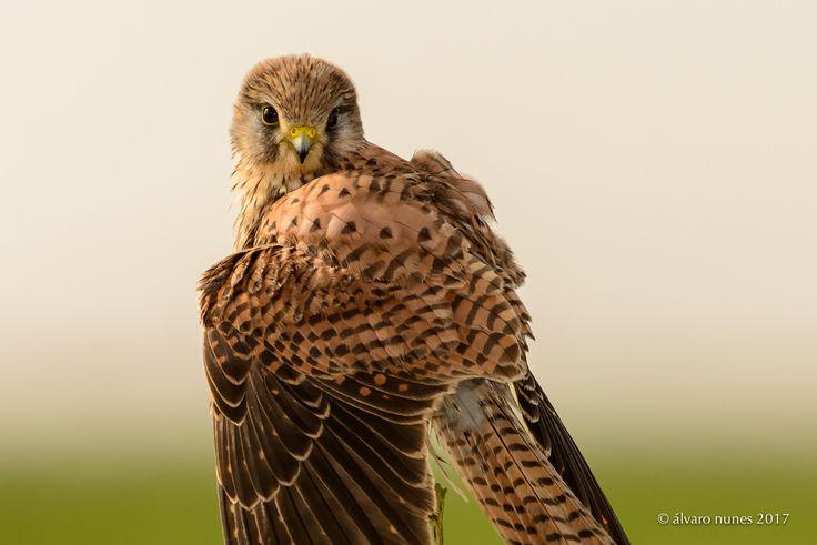 Peneireiro-vulgar | Common kestrel | Falco tinnunculus - Lezíria Grande de Vila Franca de Xira Portugal
