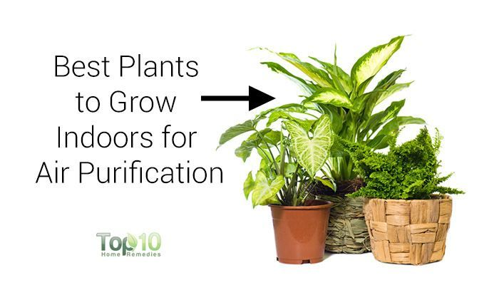 10 Best Plants You Can Grow Indoors For Air Purification Top 10 Home Remedies Cool Plants Plants Growing Plants Indoors
