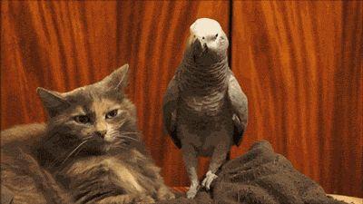 Wenn so'n Vogel erstmal in Stimmung ist, macht der selbst vor Katzen nicht Halt