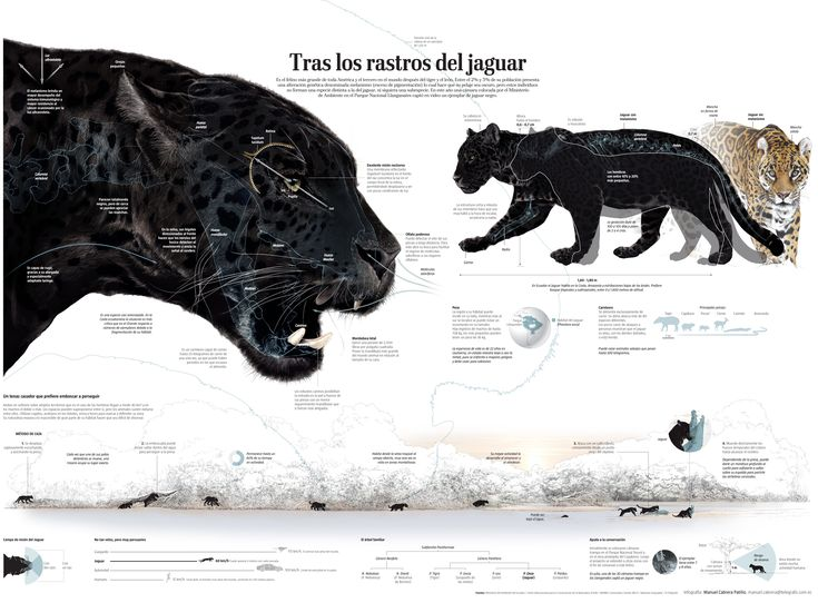 In the trail of the Jaguar