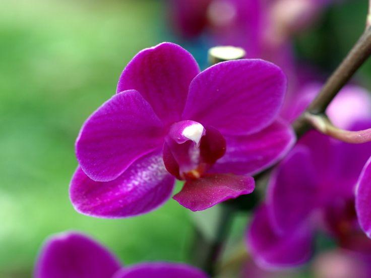 Orkideat - varitaustakuvat: http://wallpapic-fi.com/luonto/orkideat/wallpaper-10230