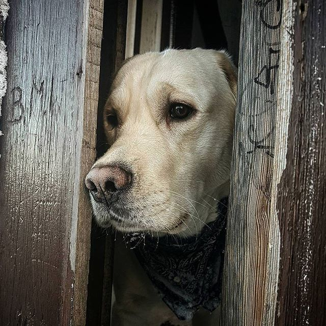 Someone knocked at the door? 📷 credits by @_shellie #labrador