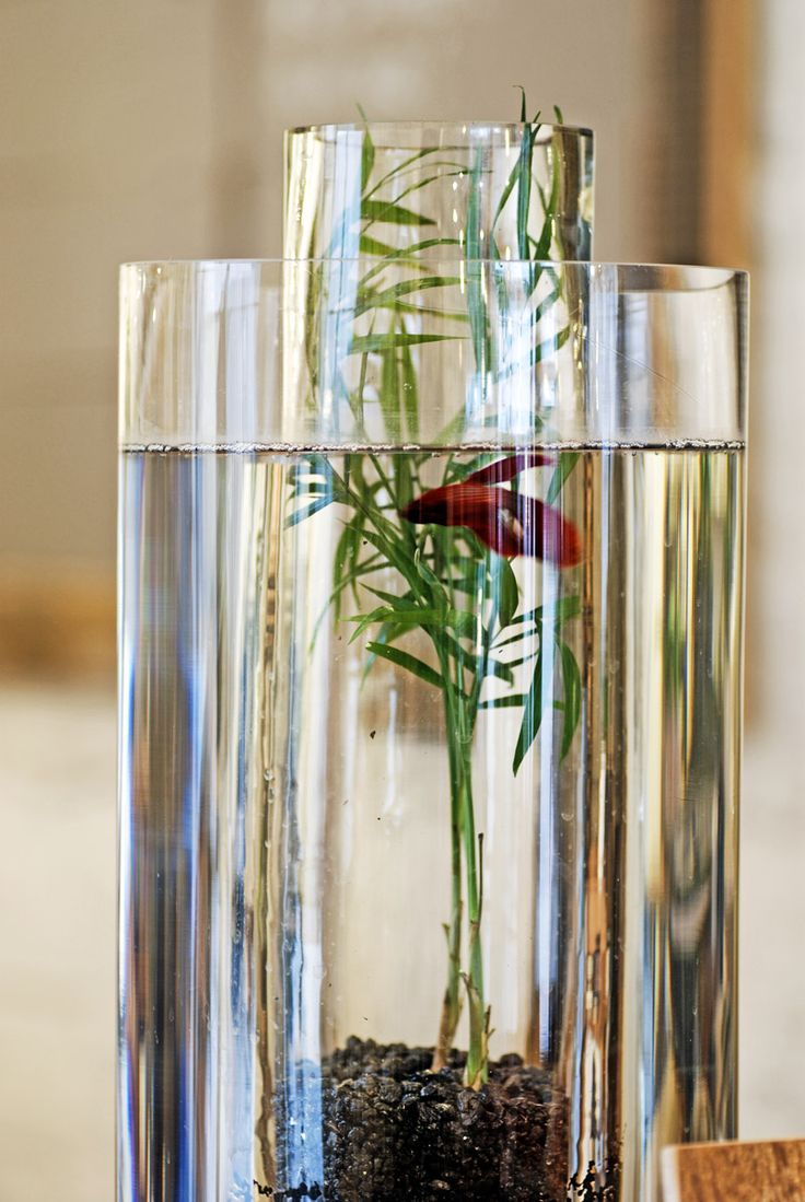 Vase Beta Fish Tank ; the vase inside of the vase allows for the look of a plant without quick decay mucking up the water