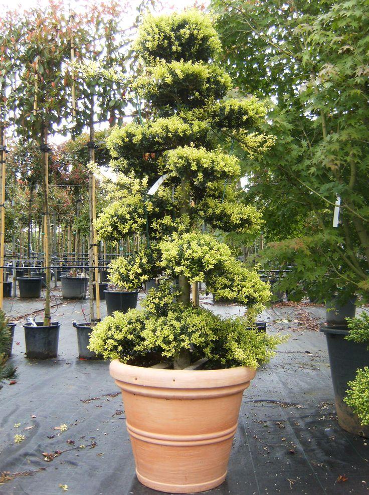 ilex crenata japanese holly zone 5 plant id d o. Black Bedroom Furniture Sets. Home Design Ideas