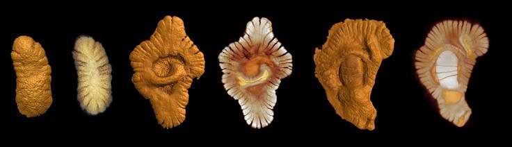 Macro-fossile de 2,1 milliards d'années, plus vieux fossile pluricellulaire connu à ce jour, découvert par Abderrazak El Albani  au Gabon