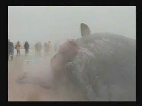 Exploding whale on the beach of Ameland -Holland