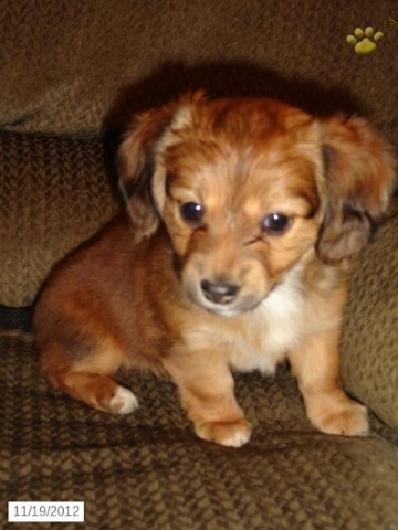 Chiweenie puppy!! One of the best dogs I've ever rescued. Soooo sweet and cuddly!