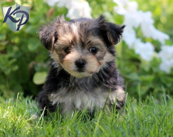 About Morkie Puppies – Wonderful Image Gallery