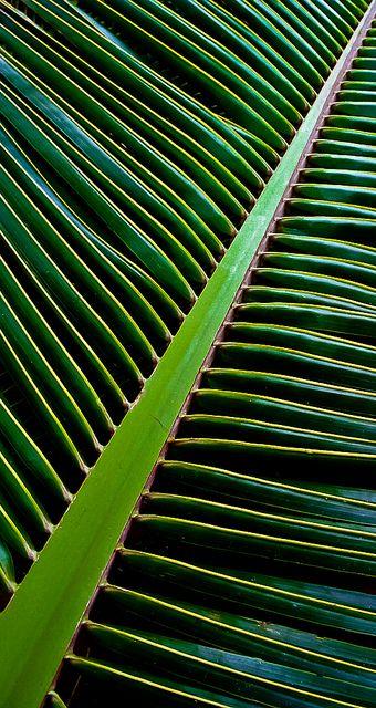 La palme est à... / Feuille de palmier. / Palm leaf.