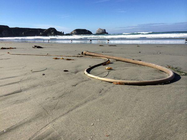 Photographs | ChrisCarter-Artist - Bullwhip Kelp - Sand Dollar Beach, Los Padres, California