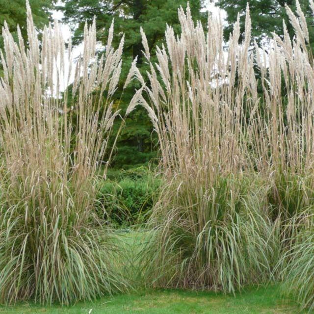 Best 25 perennial grasses ideas on pinterest grasses for Tall grasses for privacy
