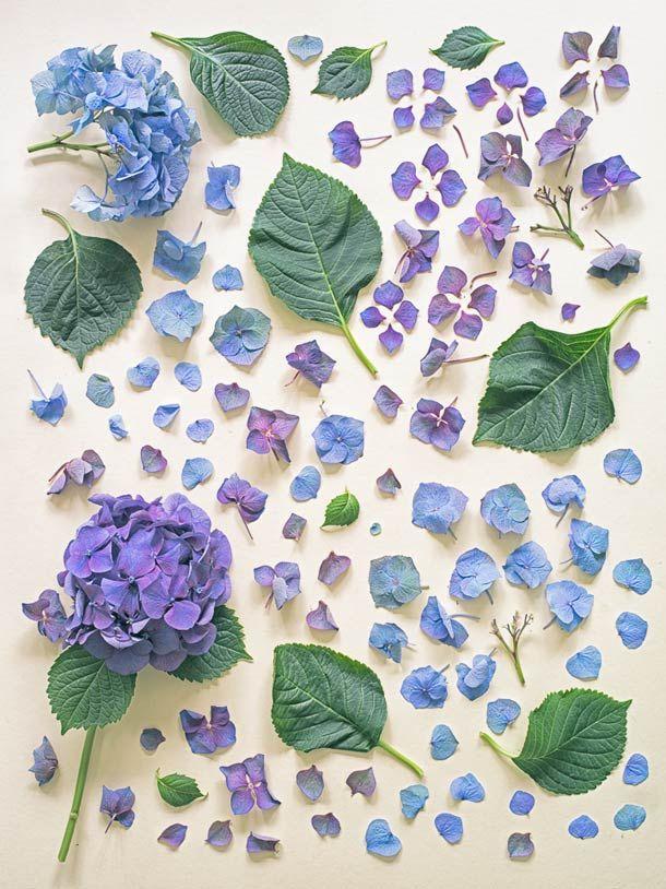 ☆ flower decomposition ajisai / あじさい