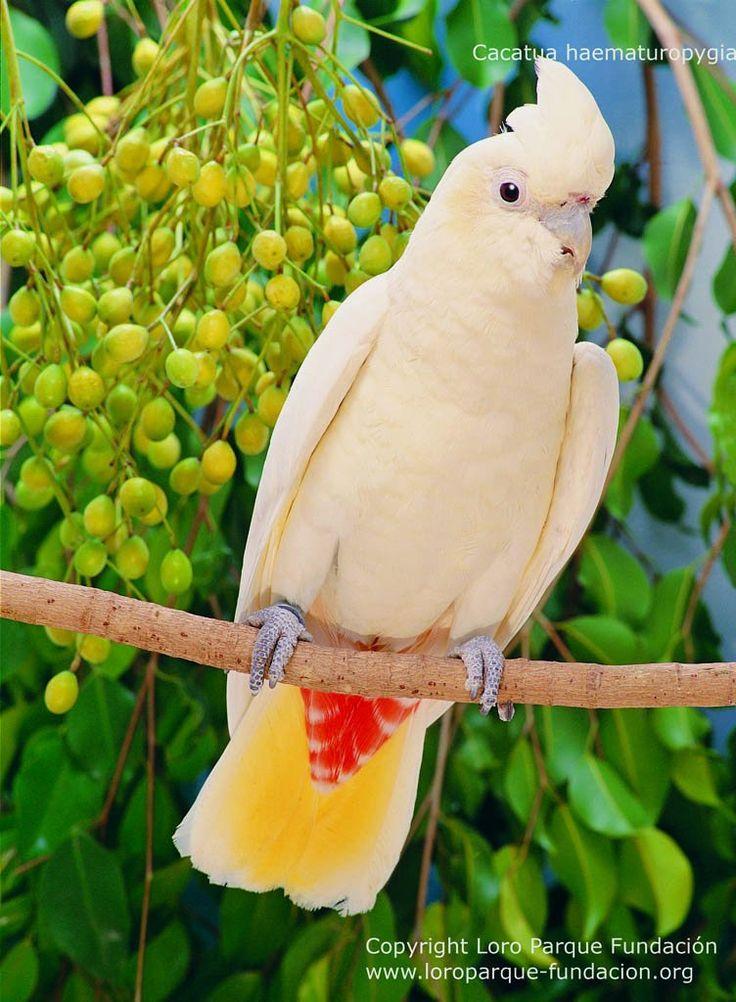 Red-vented Cockatoo - Cacatua haematuropygia by Loro Parque ...