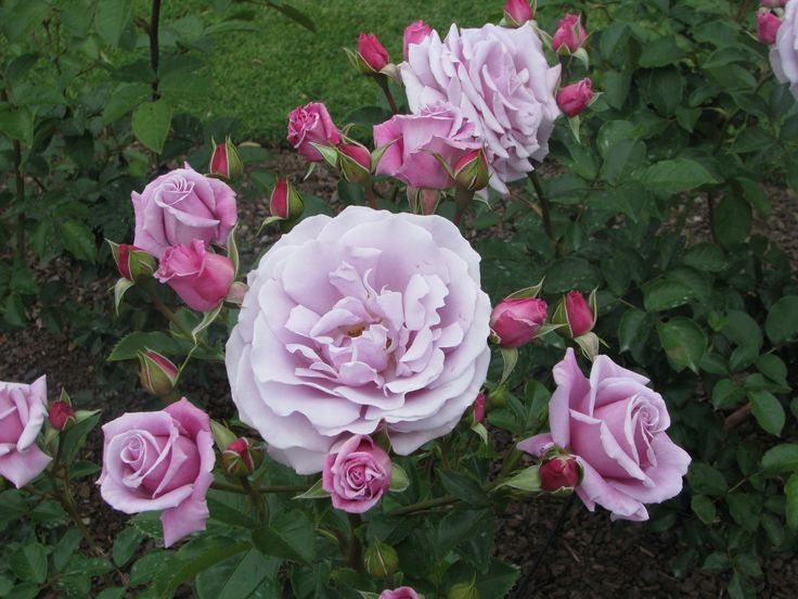 Rose at the Parnell Rose Gardens Auckland