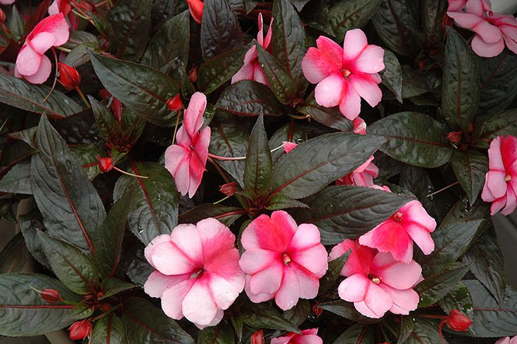 Super sonic sweet cherry new guinea impatiens impatiens for New guinea impatiens