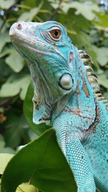 256 Best Iguanasreptiles Images On Pinterest