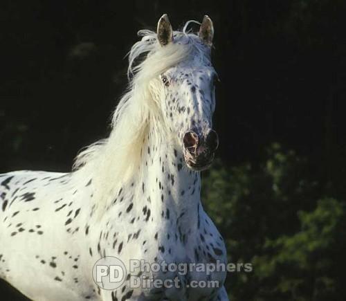 Appaloosa x Friesian mare stock photo