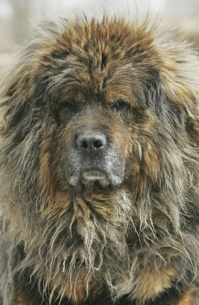 Tibetan Mastiff Dog Attacks Six People « 100.3 Jack FM – Dallas, TX