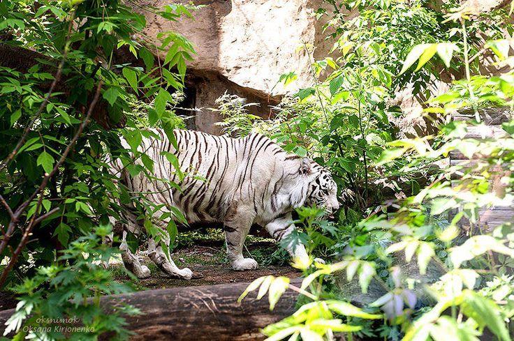 """просто фото """"Вот такого красавца можно увидеть в Московском зоопарке. Бенгальский тигр (белая вариация) У бенгальских тигров обычной рыжей окраски иногда рождаются детёныши с белой шерстью на которой однако сохраняются темные полосы. В природе они выживают крайне редко такие животные не могут успешно охотиться  они слишком заметны. Белых тигров разводят специально для цирков и зоопарков.  Систематика Русское название  бенгальский тигр  Английское название  Tiger  Латинское название  Panthera…"""