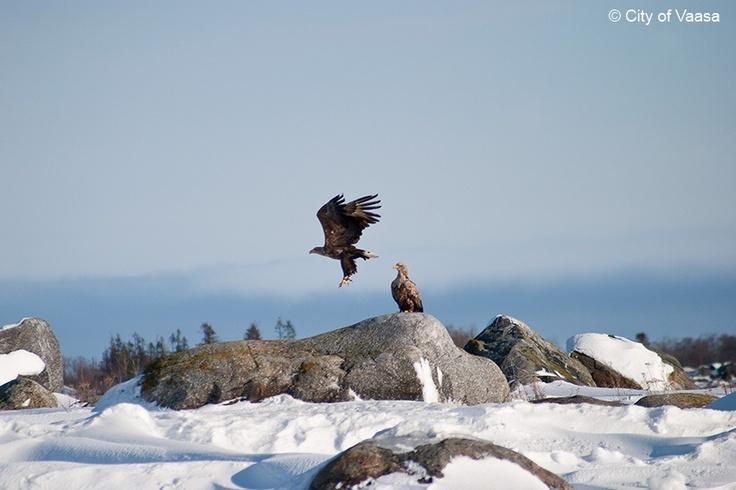 White-tailed eagle @ Vaasa archipelago. www.visitvaasa.fi. Photo Jaakko Salo.