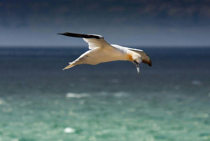 Gannet in flight, Saltee Islands, Wexford, Ireland
