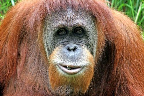 Orangutan Datangi Warga Ringin Inhu, Diduga Lepas dari Taman Nasional Bukit Tiga Puluh
