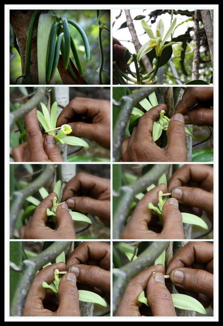 Vanilla Hand Pollination - Did you know vanilla is hand pollinated? It's natural pollinator (Melipona) is only found in Mexico! A 12 year old boy discovered hand pollination by accident and that's how we can now globally cultivate this plant! #India #Chekin #Travel