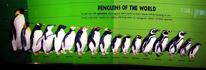 17-19 species. (Adelie, African (or Cape), Chinstrap,  Emperor, Erect-crested, Fiordland, Galapagos, Gentoo, Humboldt, King, Little (or Fairy) , Macaroni, Magellanic, Rockhopper, Royal, Snares, Yellow-Eyed