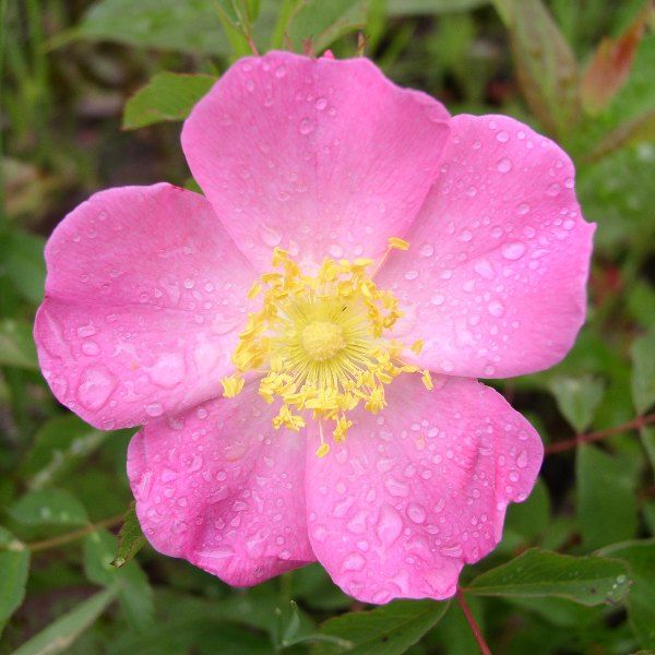 Wild Prairie Rose North Dakota With Images Small Pink